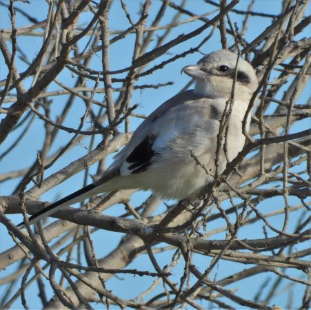 Steppe Grey Shrike  - Eulàlia Maspons