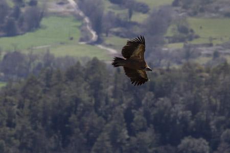 Voltor comú  - Joan Culí