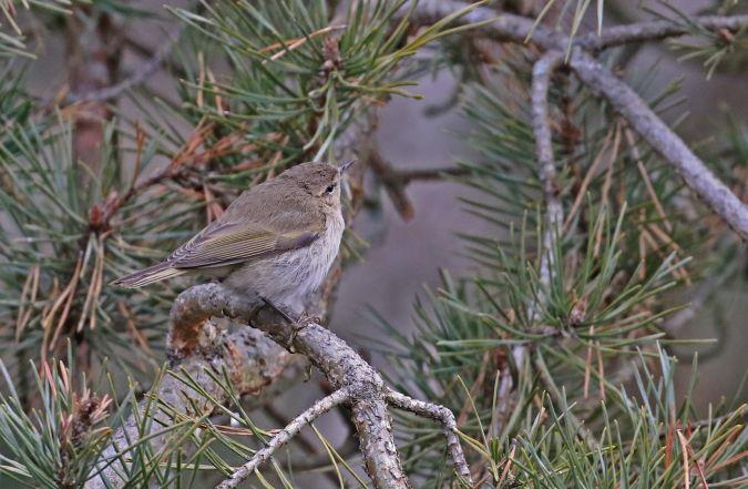 Luì piccolo (P.c.tristis)  - Claudia Hischenhuber