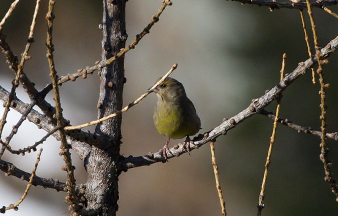 European Greenfinch  - Roberto Brembilla