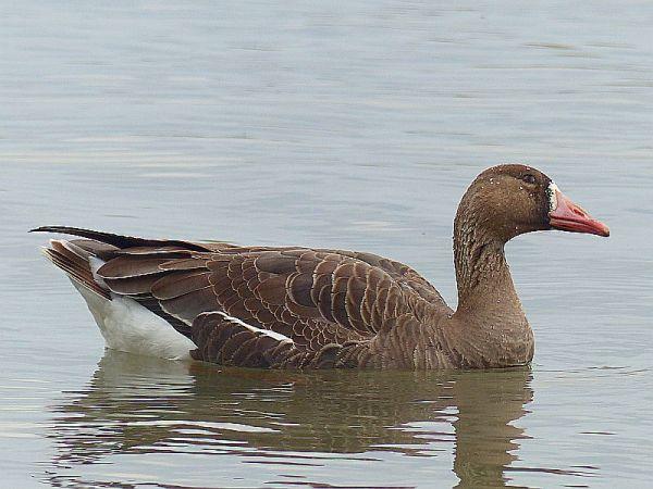 Greater White-fronted Goose  - Natascha Kunkel