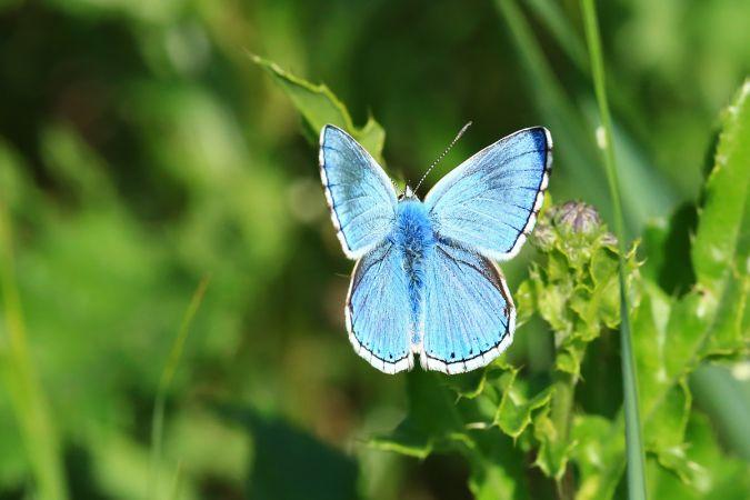 Argus (Azuré) bleu céleste  - Frédéric Jaquier