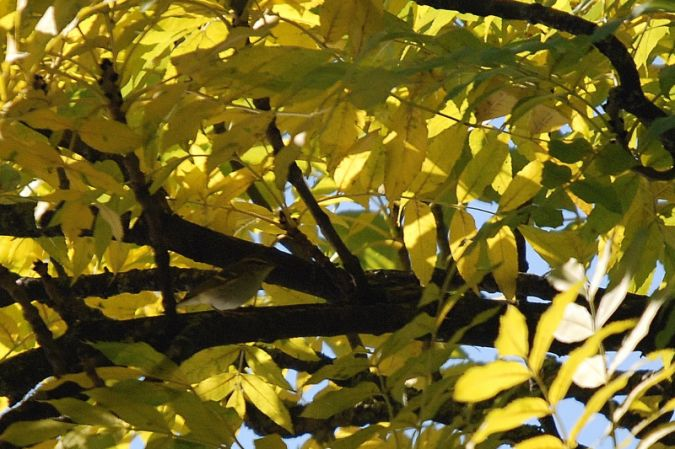 Yellow-browed Warbler  - Bernard Volet