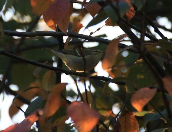 Yellow-browed Warbler  - Nicolas Baiker