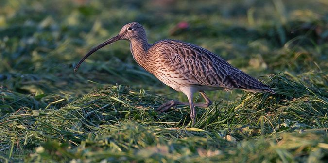 Eurasian Curlew  - Klaus Robin