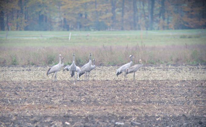 Common Crane  - Manuel Bütikofer