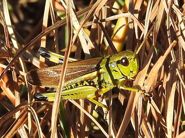 Large Marsh Grasshopper  - Hansruedi Käppeli