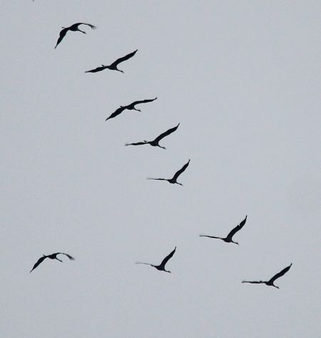 Common Crane  - Markus Schuhmacher