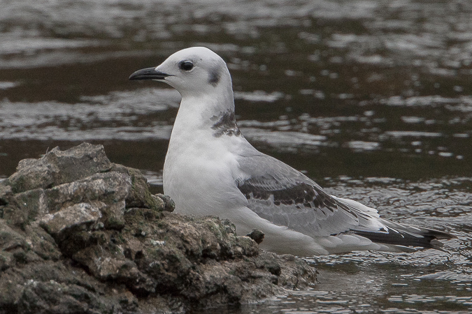 Mouette tridactyle  - Harald Roost