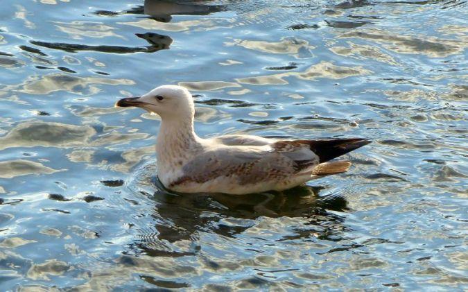 Caspian Gull  - Natascha Kunkel