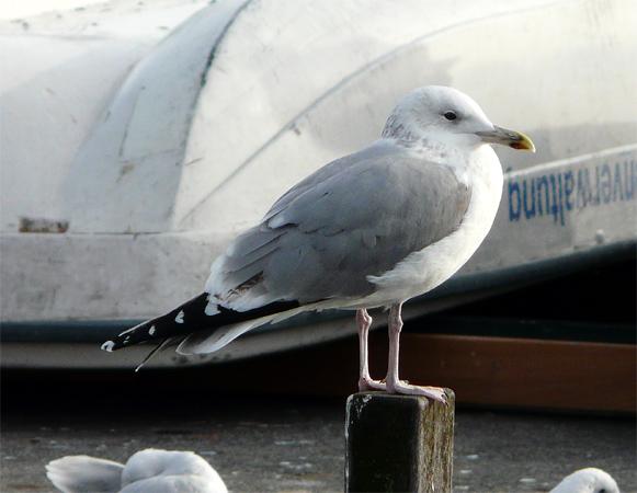 Caspian Gull  - Patrick Höhener