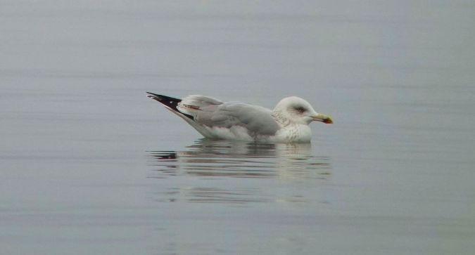 Herring Gull  - Sepp Trittenbass