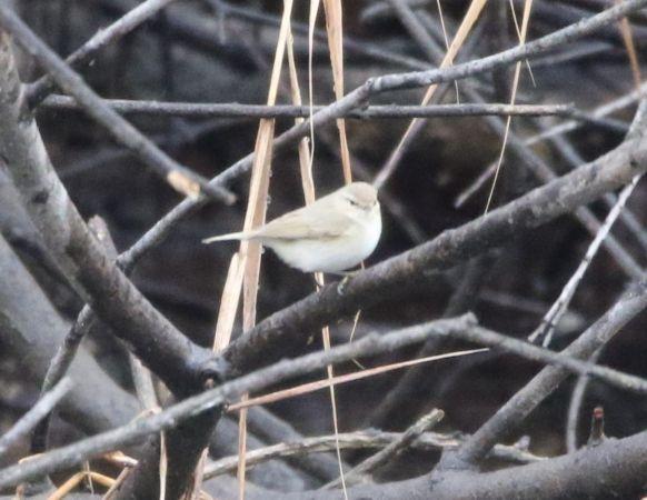 Luì piccolo (P.c.tristis)  - Nadir Signori