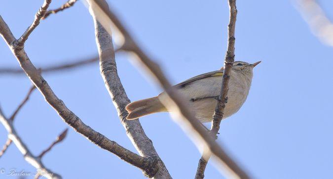 Luì piccolo (P.c.tristis)  - Barbara Rigoni