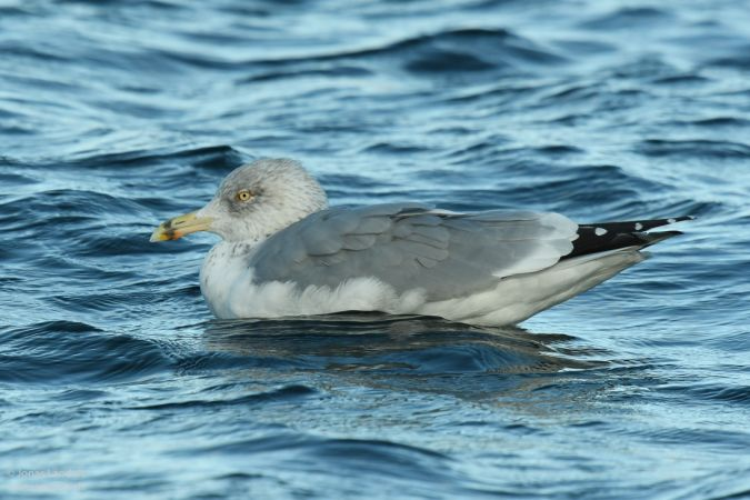 Herring Gull  - Jonas Landolt