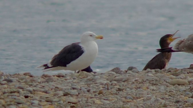 Great Black-backed Gull  - Werner Eberhard