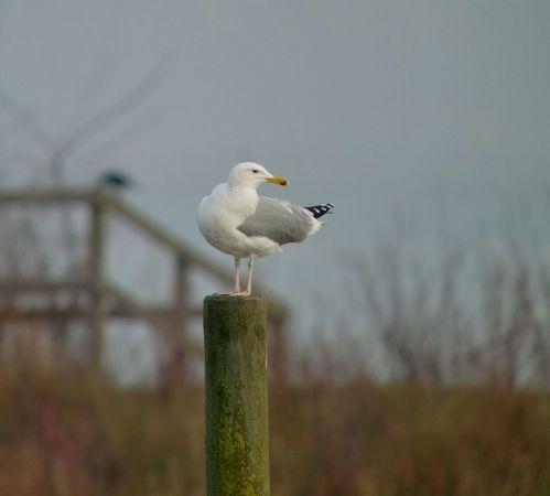 Caspian Gull  - Sepp Trittenbass