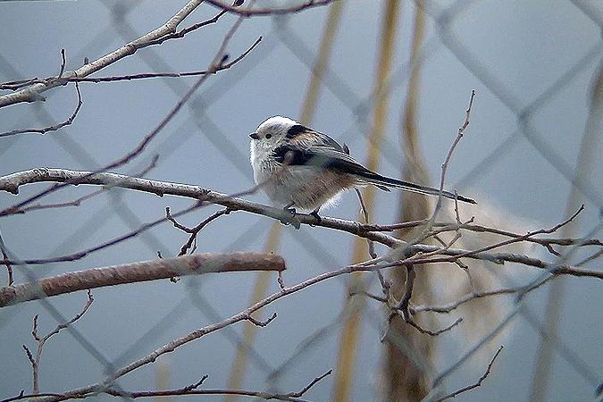 White-headed Long-tailed Tit (A.c.caudatus)  - Kilian Disler