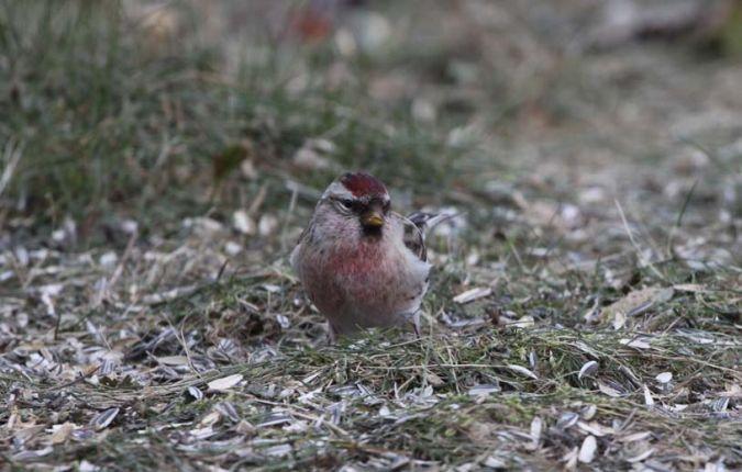 Common Redpoll  - Bernard Genton