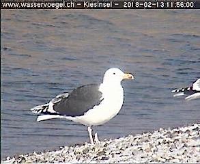 Great Black-backed Gull  - Felix Hämmerli