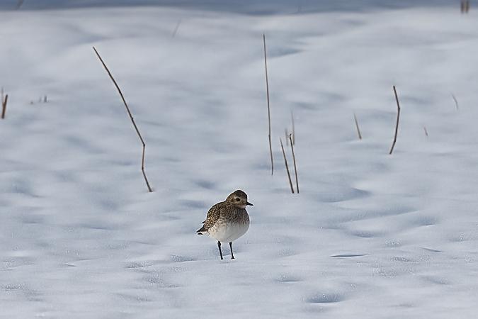 European Golden Plover  - Daniel Mangold