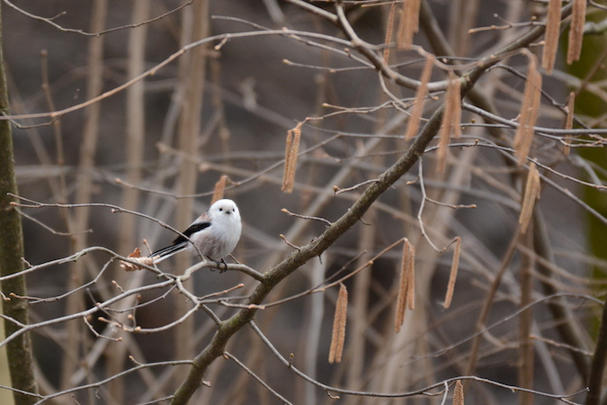 White-headed Long-tailed Tit (A.c.caudatus)  - Sophie Marti