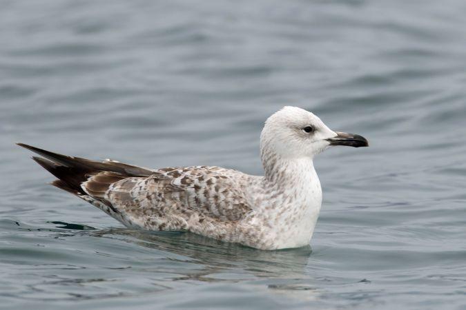 Caspian Gull  - Hubert Fivat