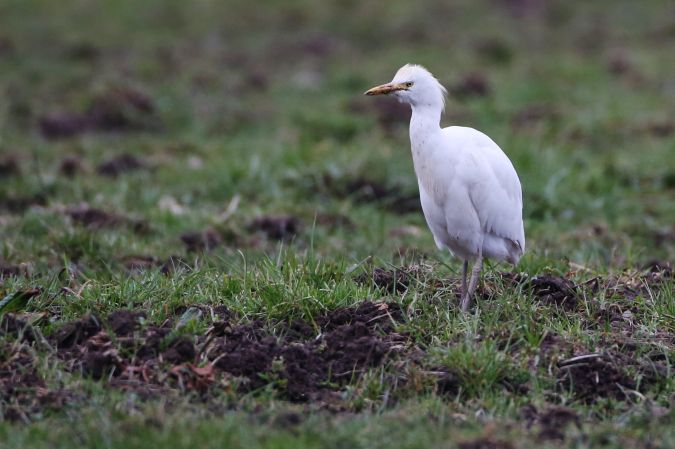 Cattle Egret  - Adolf Helmut Müller