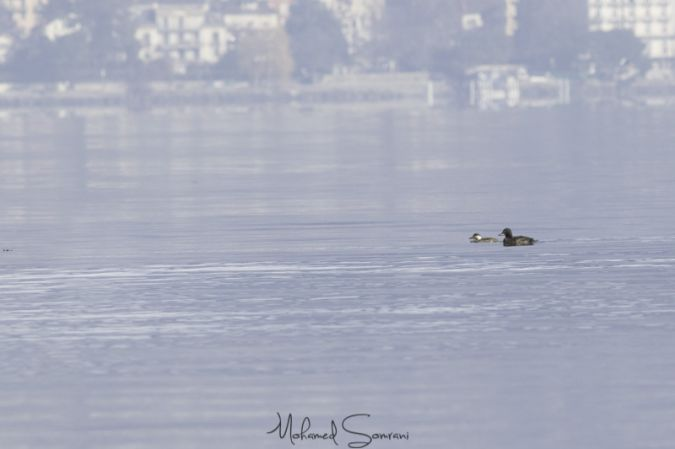 Black Scoter  - Mohamed Somrani