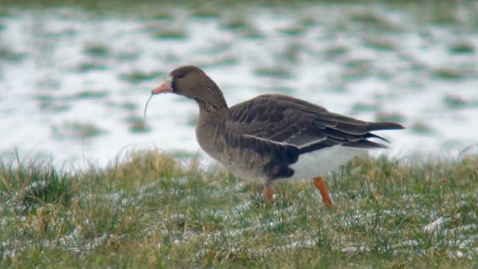 Greater White-fronted Goose  - Werner Eberhard