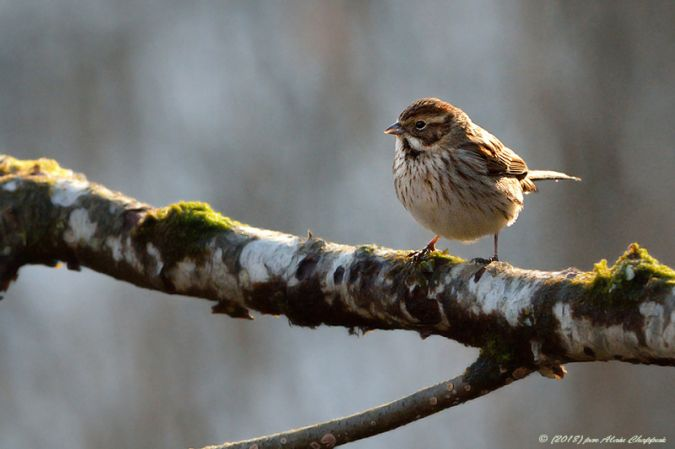 Common Reed Bunting  - Alain Chappuis