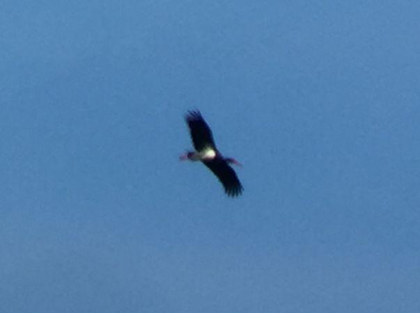 Black Stork  - Simon Hohl