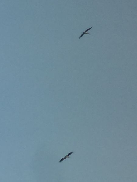 Cigogne noire  - Simon Hohl