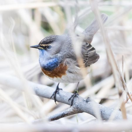 White-spotted Bluethroat  - Jacques Cloutier