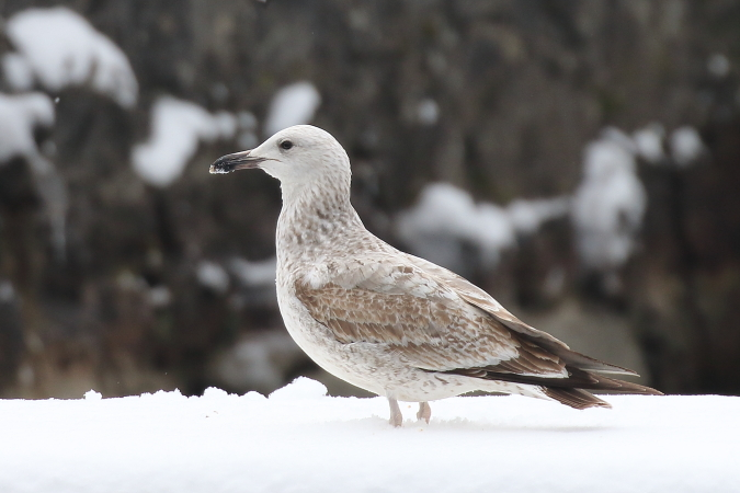 Caspian Gull  - Vasco Gonçalves-Matoso