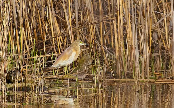 Squacco Heron  - Willy Daeppen