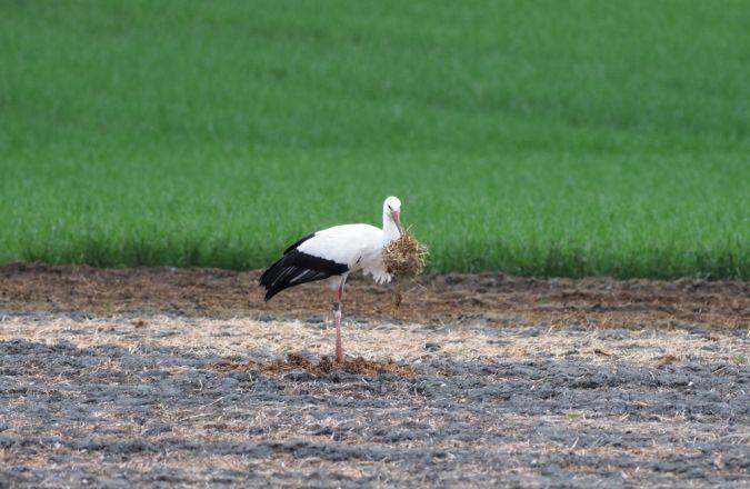 Cicogna bianca  - Wh Karl-Heinz Jäger