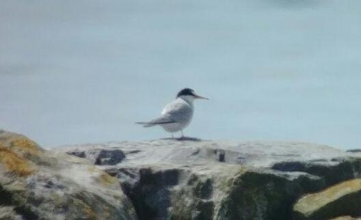 Little Tern  - Christoph & Jan Graber