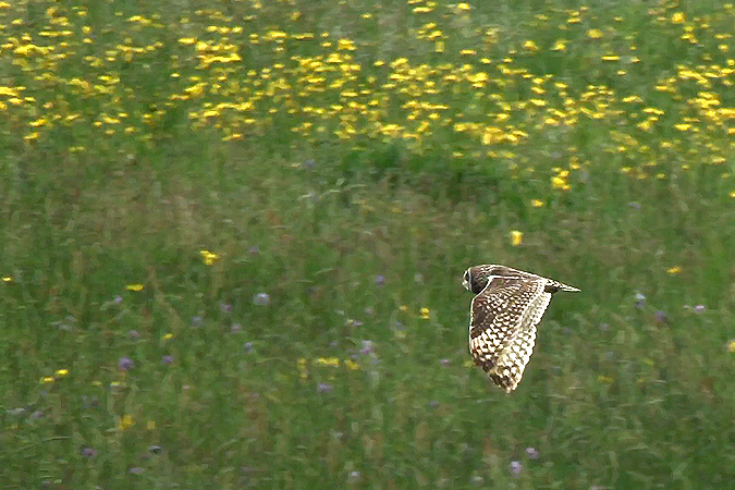 Hibou des marais  - Kilian Disler