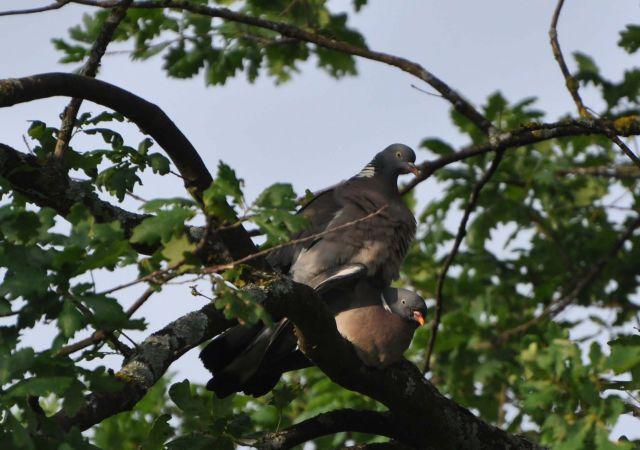 Pigeon ramier  - Christine Reymond