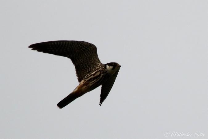 Faucon hobereau  - Heinz Rothacher