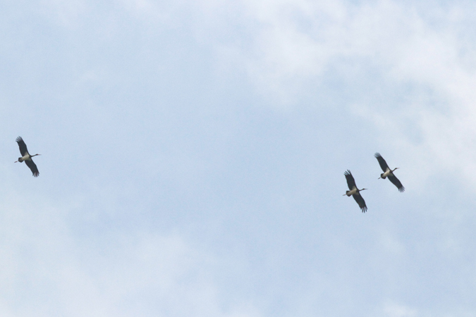 Cigogne noire  - Dominik Hagist