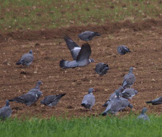 Pigeon ramier  - Markus Schuhmacher