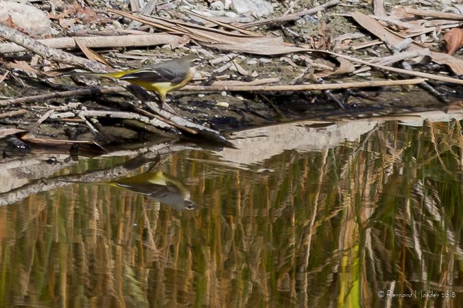Bergeronnette des ruisseaux  - Bernard Maeder