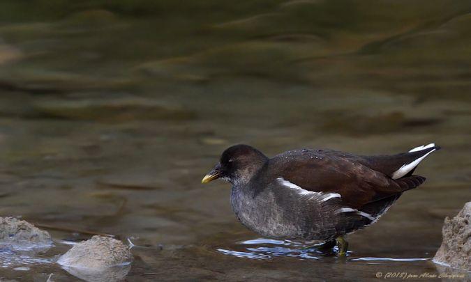Gallinule poule-d'eau  - Alain Chappuis