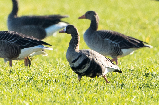 Greater White-fronted Goose  - Adrian Schmid
