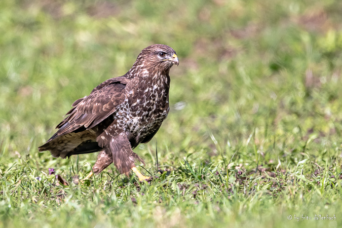 Buse variable  - Fritz Dällenbach