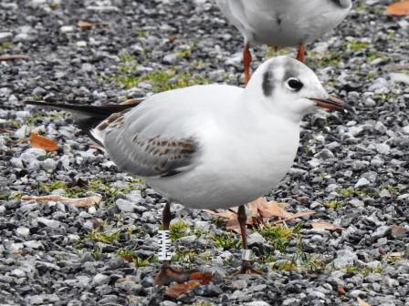 Mouette rieuse  - Kurt Anderegg