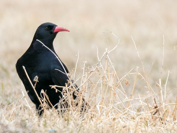 Red-billed Chough  - Daniela Heldner