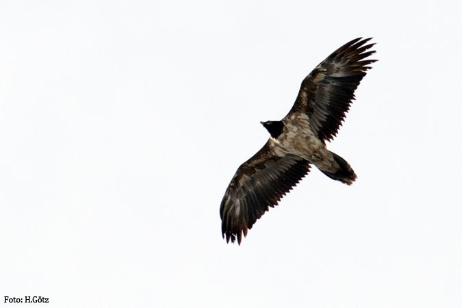 Bearded Vulture  - Heiner Götz